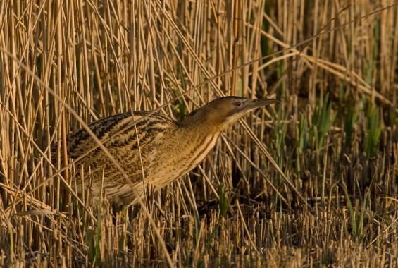 A thriving reedbed is at the heart of this expanding reserve in Newark